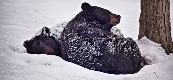 Bears withstanding the snow